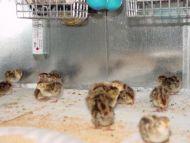 100 A&M Coturnix Quail Chicks